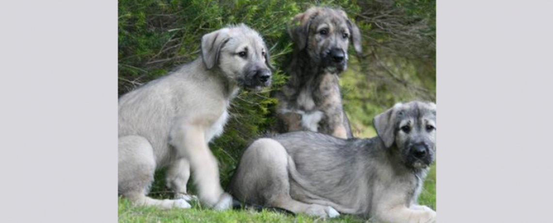 Sirius Canine Fertility Puppies